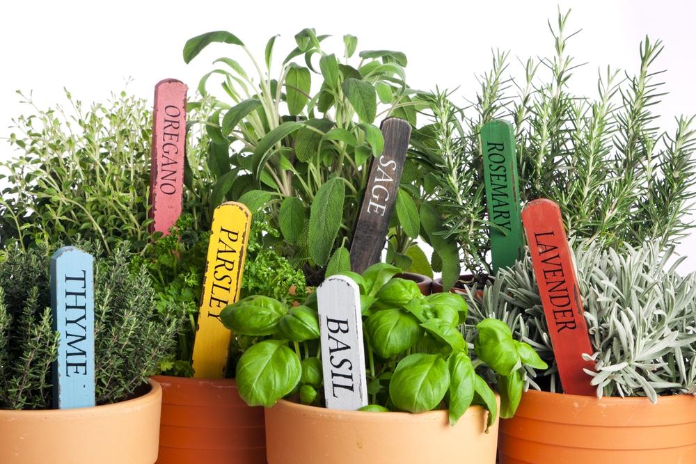 Fűszernövények cserépben